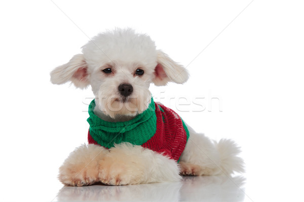 lying furry bichon with colorful sweater looks to side Stock photo © feedough