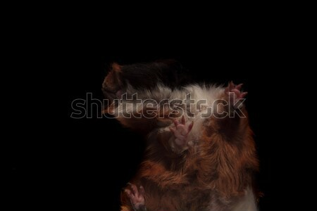 adorable guinea pig couple standing on glass Stock photo © feedough