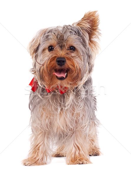 Haletant yorkshire terrier chiot blanche fond Photo stock © feedough