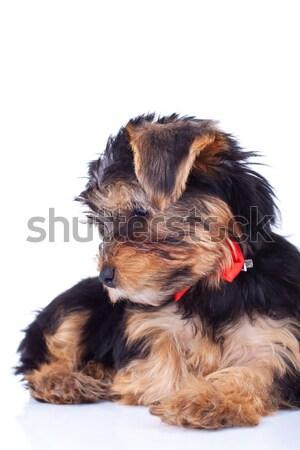 Curious yorkie puppy, sitting Stock photo © feedough