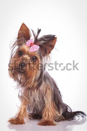 Foto stock: Dos · pequeño · yorkshire · cachorro · perros · jugando