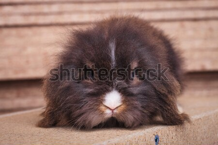 cute lion head rabbit bunny lying in wood background  Stock photo © feedough