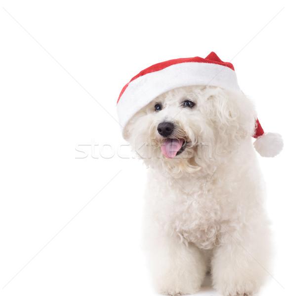 happy seated santa claus bichon frise  Stock photo © feedough
