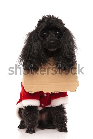 curious black poodle is looking up  Stock photo © feedough