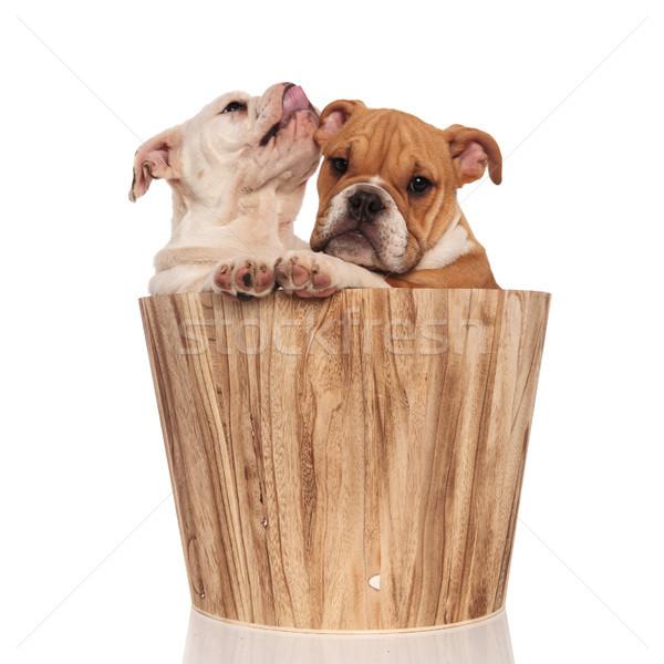 Angol bulldog kutyakölyök orr fivér bent Stock fotó © feedough