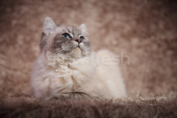 super cute furry cat lying down on fur background  Stock photo © feedough