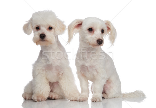 two cute bichons looking in opposite directions Stock photo © feedough