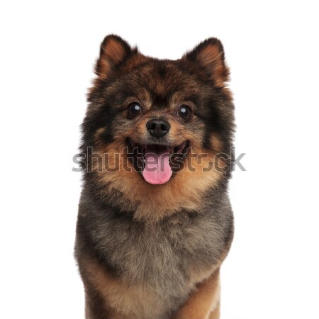 close up of excited brown dwarf spitz panting Stock photo © feedough