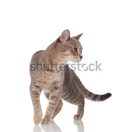 lovely grey cat walking and looking down to side Stock photo © feedough