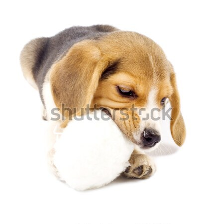 прелестный молодые Beagle щенок мех Сток-фото © feedough