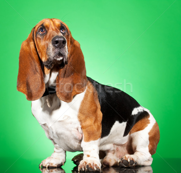 Basset Hound dog Stock photo © feedough