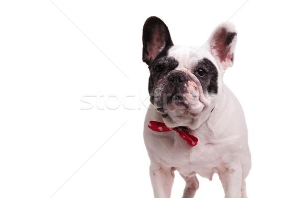 elegant french bulldog wearing red bowtie  Stock photo © feedough