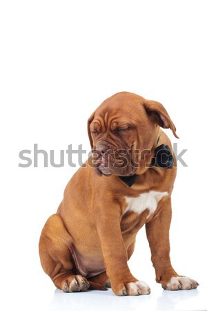 seated brown puppy wearing bowtie is sleeping Stock photo © feedough