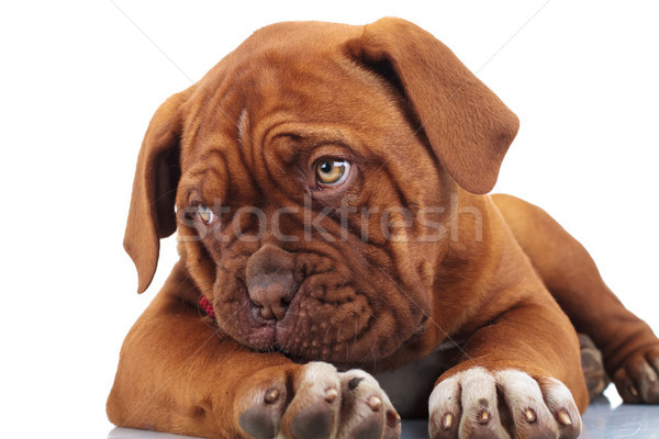 shy little puppy dog looks to side while lying down Stock photo © feedough