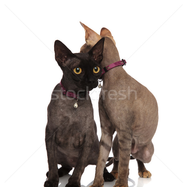 black cat looks forward and the other is looking  back  Stock photo © feedough