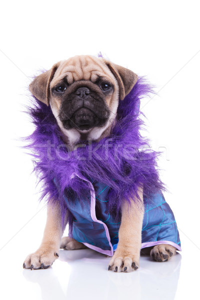 funny seated pug in blue coat with purple furry collar Stock photo © feedough