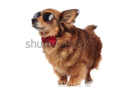 возбужденный коричневая собака Солнцезащитные очки красный вверх Сток-фото © feedough