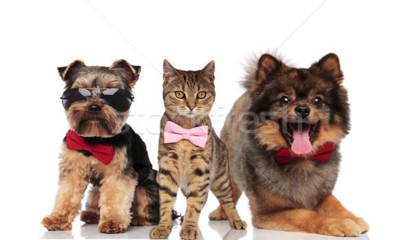 Foto d'archivio: Gruppo · tre · cani · gatti · occhiali · da · sole