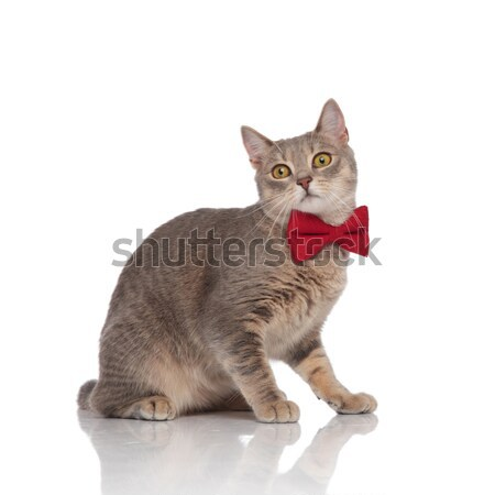 side view of classy metis cat with red bowtie standing Stock photo © feedough