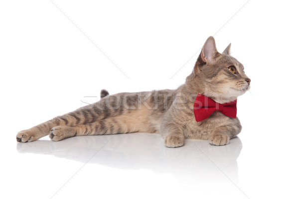 curious lying cat with red bowtie looks to side Stock photo © feedough