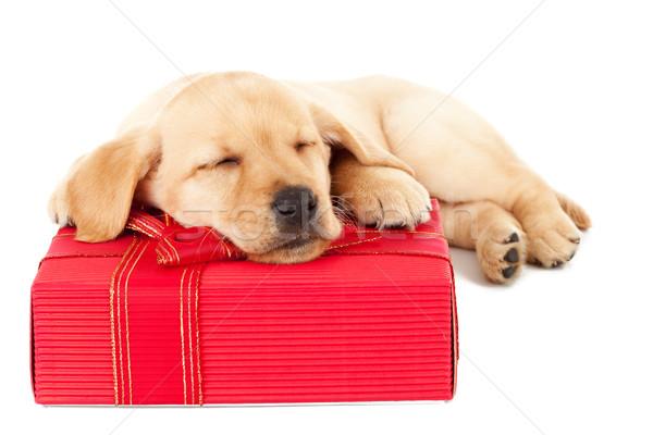 Labrador köpek yavrusu uyku sunmak sevimli küçük Stok fotoğraf © feedough