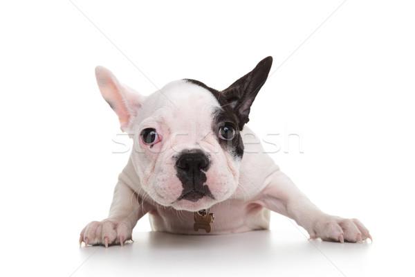Félénk szomorú francia bulldog kutyakölyök fehér Stock fotó © feedough