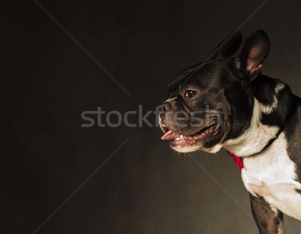 Francia bulldog kutyakölyök kutya zihálás stúdió Stock fotó © feedough