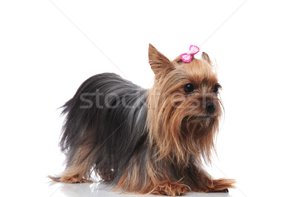 cute little yorkshire terrier lyig down on its front paws Stock photo © feedough