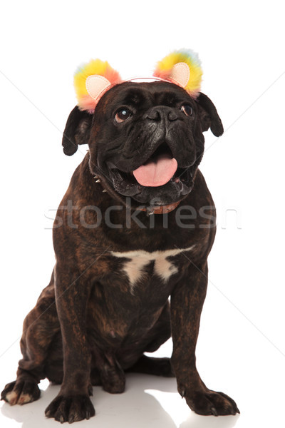 excited boxer with colorful ears headband looks up to side Stock photo © feedough