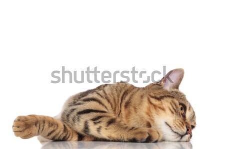 Cute britannique tête côté blanche regarder Photo stock © feedough