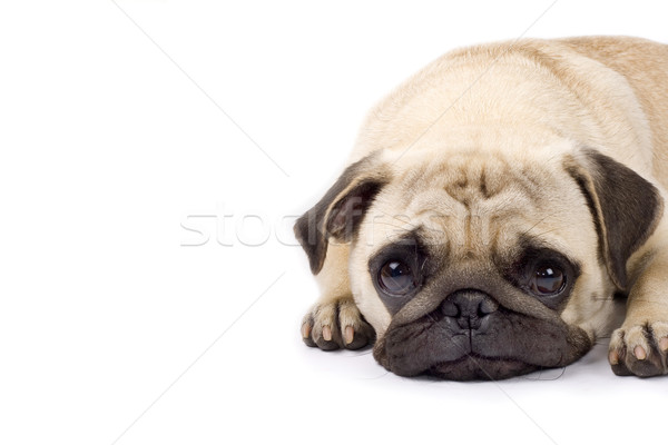 Stock photo: cute pug with sad eyes
