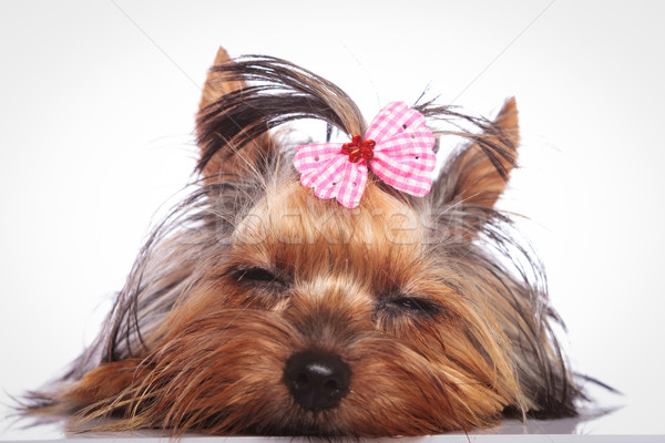 tired little yorkshire terrier puppy dog is sleeping  Stock photo © feedough