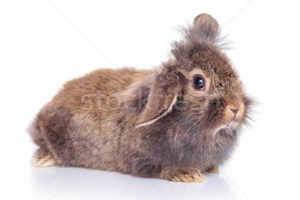 cute lion head rabbit bunny lying on white background. Stock photo © feedough