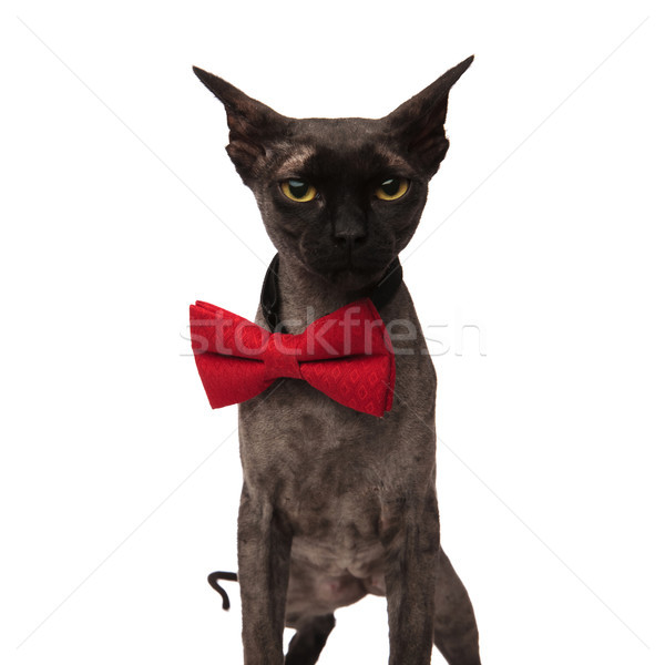 grey grumpy cat wearing a bow tie Stock photo © feedough