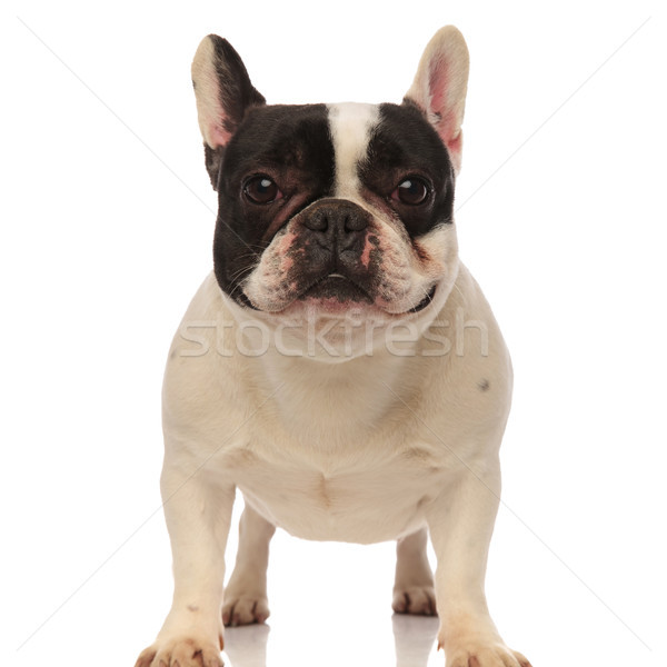frontal view of a black and white french bulldog Stock photo © feedough