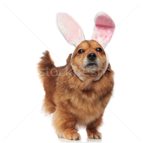 cute excited brown metis dog with bunny ears looks up Stock photo © feedough