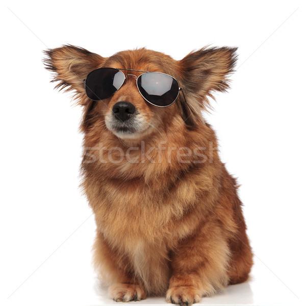 прелестный сидящий коричневая собака смешные ушки Солнцезащитные очки Сток-фото © feedough