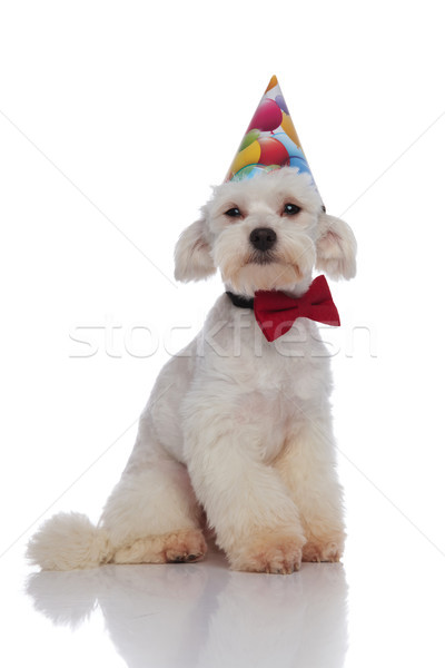 cute elegant bichon is ready for birthday party Stock photo © feedough