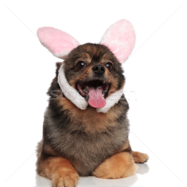 cute lying brown pom with pink bunny ears panting Stock photo © feedough