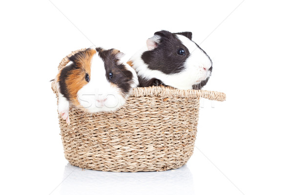 two guinea pigs in a basket Stock photo © feedough