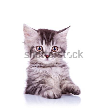 adorable silver tabby cat Stock photo © feedough