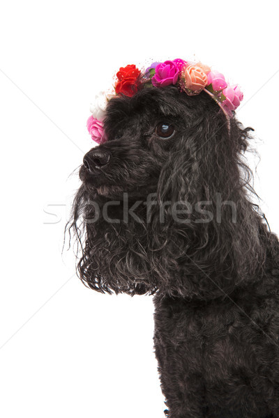 side view portrait of a cute  poodle wearing flowers headband  Stock photo © feedough
