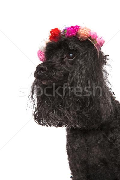 Vue de côté portrait cute caniche fleurs Photo stock © feedough
