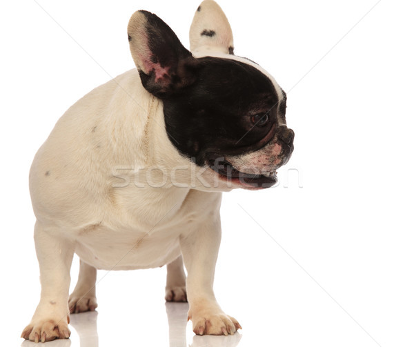 cute little french bulldog looking to side Stock photo © feedough