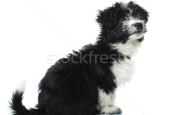 seated bichon havanese looking to side Stock photo © feedough