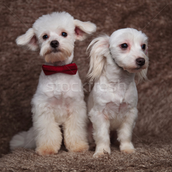 two gentlemen bichons looking in opposite sides Stock photo © feedough