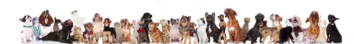 large curious team of mixed pets with bowties and collars Stock photo © feedough