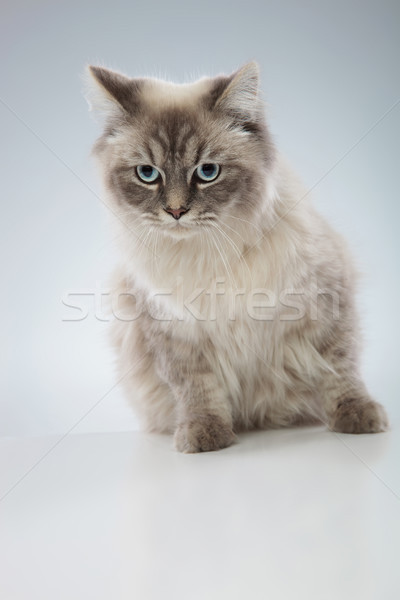 Cute chat yeux bleus posant studio Photo stock © feedough