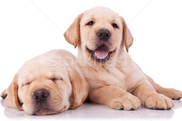 Due adorabile piccolo labrador retriever cuccioli uno Foto d'archivio © feedough