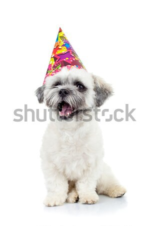 party puppy bichon havanese Stock photo © feedough